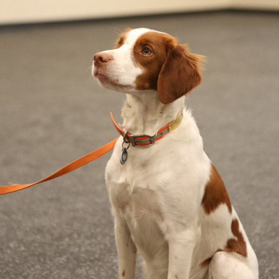 dog in an orange collar sits at attention