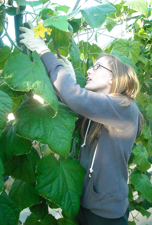 "Plant Science student Kate Everitt harvests ""Tyria"" hydroponic cucumbers from the SUNY Cobleskill greenhouses."